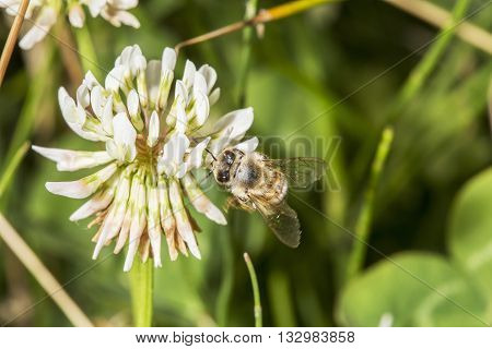 Honeybee Gathering Pollen From A Trefoil Flower