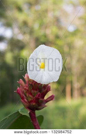 Beautiful White Flower  On Blurred Bokeh Forest Background With Copy Space, Single White Flower In N
