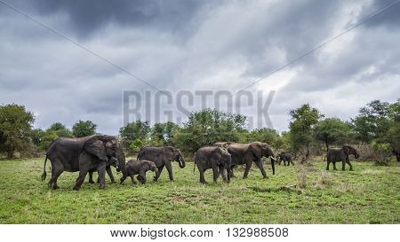 Specie Loxodonta africana family of Elephantidae, family of african bush elephants walking in green savannah