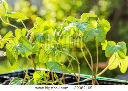 Spring seedlings of flowers of morning glory close-up in a container in the evening sun backlit. Selective focus