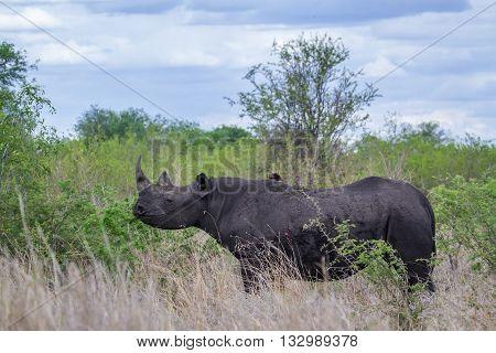 Specie Diceros bicornis family of Rhinocerotidae, wild black rhinoceros standing in the bush in Kruger Park