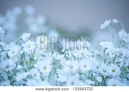Glade of white delicate flowers. Flowers of Cerastium. Floral background