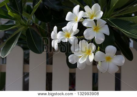 White Frangipani Plumeria Tropical Spa Flower In Garden Home With White Fence
