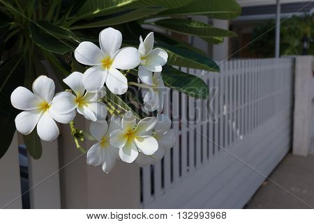 White Frangipani Plumeria Tropical Spa Flower In Garden Home With White Fence