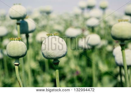 Beautiful picture Opium poppy field on the blue sky