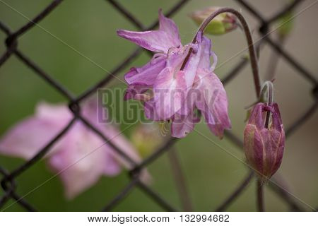 Light pink aquilegia flowers. Pink bell. Nature background