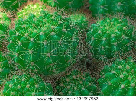 Various cactus plants;Green Cactus closeup. Green San Pedro Cactus