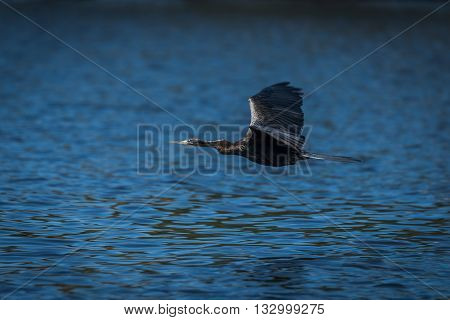 African Darter With Wings Spread Above River