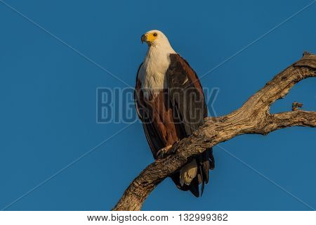 African Fish Eagle In Golden Light On Branch