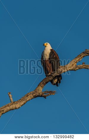 African Fish Eagle On Branch In Golden Light