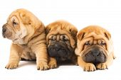 stock photo of threesome  - Group of three beautiful sharpei puppies isolated on white background - JPG