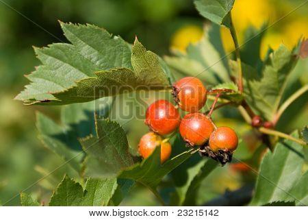 Ripening Hawthorn (crataegus) Berries