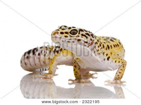 Leopardgecko - Eublepharis Macularius