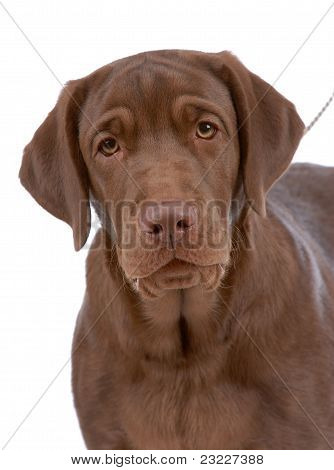 Portrait Of Labrador-retriever