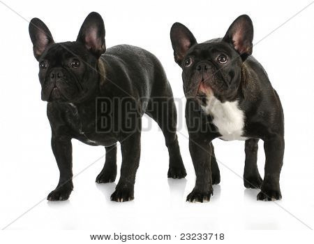two dogs - french bulldog litter mates standing on white background