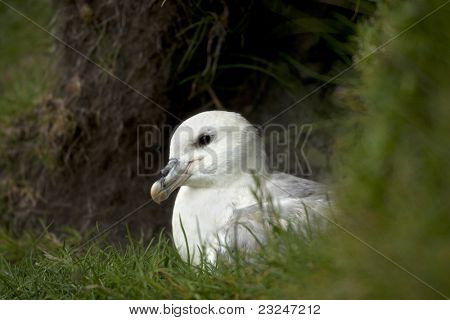 Seagull on Mykines, Faroe Islands