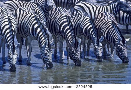 Africa-Zebras Drinking At Waterhole