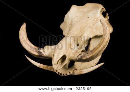 Wart Hog Skull