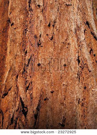 Bark of giant sequoia tree trunk