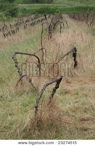 Derelict Grape Vines