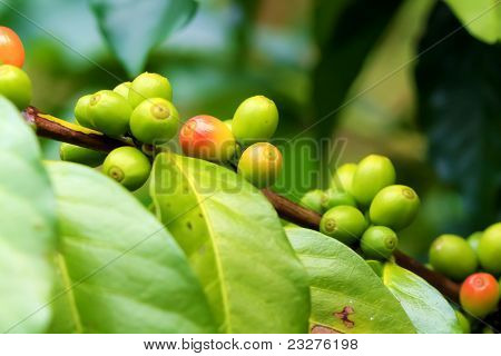 Raw Green Coffee Beans