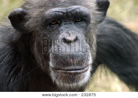 Animal Chimp Ape