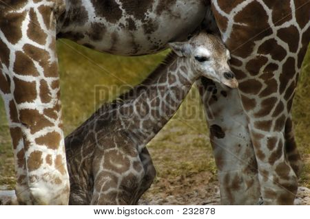 Animal Giraffe Young