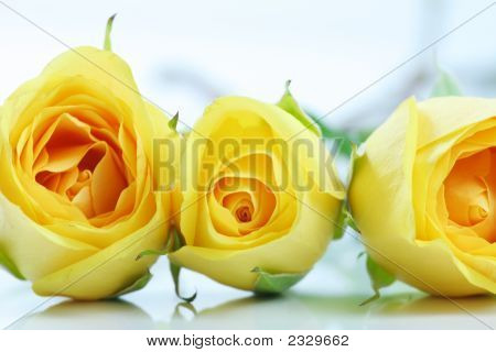 Three Beautiful Yellow Roses Lined Up, On White.