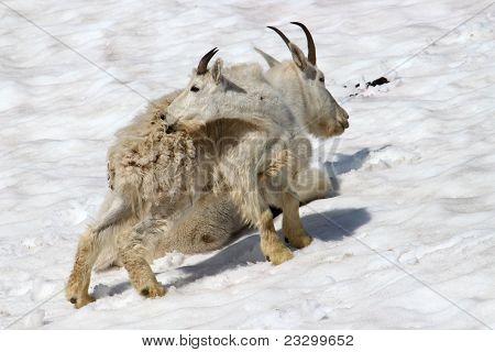 Mountain Goat (Oreamnos americanus) Juvenile