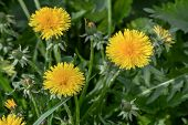 Dandelions In The Spring Meadow. Bright Flowers Dandelions On Background Of Green Meadows. poster