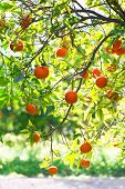 Orange, Tree, Citrus, Fruit, Garden, Orchard , Sunny, Orchard, Branch, 	   Organic, Agriculture, Nat poster