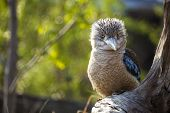 foto of blue winged kookaburra  - Kookaburra Dacelo novaeguineae Kingfisher from Australia with a funny look - JPG