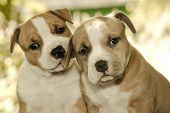 stock photo of pit-bull  - Puppy American Staffordshire Terrier  - JPG
