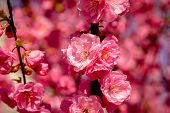 Sakura, Cherry Blossom, Cherry Tree With Flowers. Oriental Cherry Blooming poster