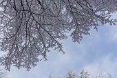 Branches Of Spruce Tree With White Snow. Winter Spruce Trees In The Frost.layer Of Snow On Branches  poster