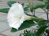 stock photo of angel-trumpet  - Nature - JPG