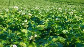 Blooming Potato Field, Agriculture.blooming Potato Field At Morning, Rural Scene. poster