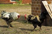 image of cockfight  - fight of two roosters on a farm - JPG