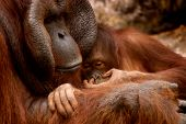 Animal Orangutan Family poster
