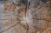 The Old Wood Texture With Natural Patterns. Cross-section Of The Old Tree. Texture Of Dark Wood. Nat poster