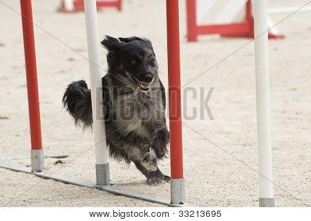 Pyrenean Sheepdog In Agility