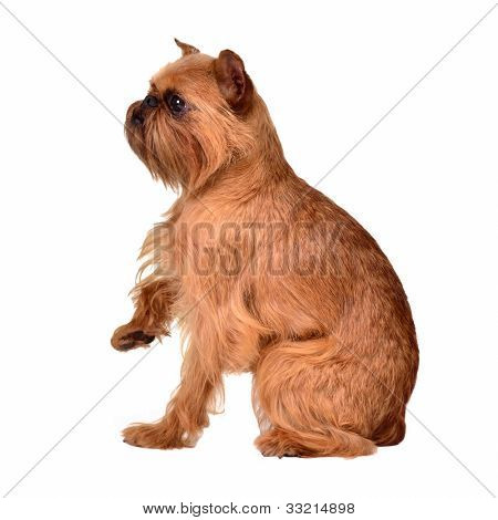 Griffon Bruxellois with paw up, isolated on white background