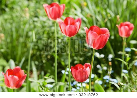 Red Tulips In The Spring