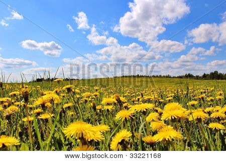 Green field and dandelions
