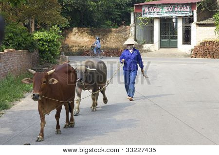 Vietnamese Farmer with Water Buffalo
