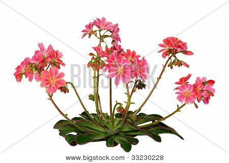 Lewisia Cotyledon, On White Background