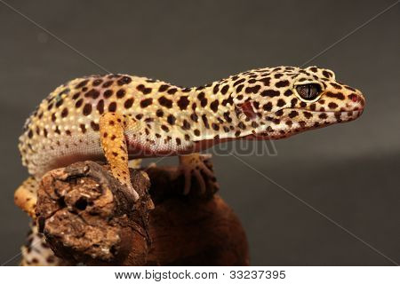 leopard gecko sitting on a brunch