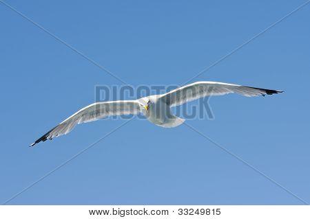 A Herring Gull (larus Argentatus) Flying In The Blue Sky