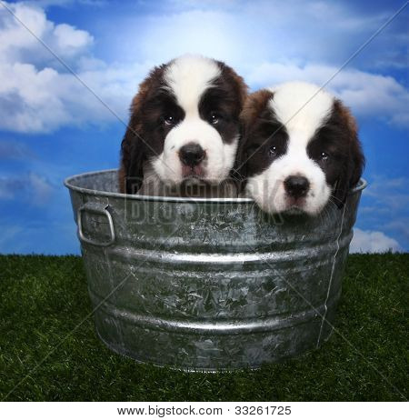 Cute and Adorable Saint Bernard Pups