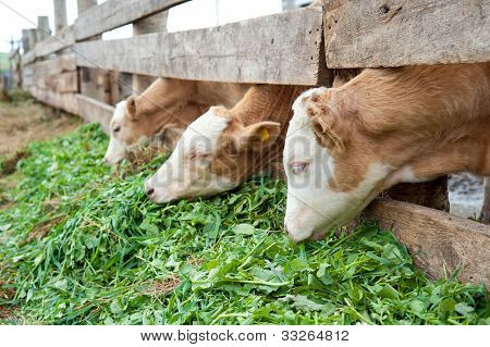 Calves Eat Grass